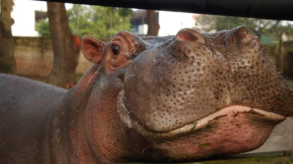 Hipopótamo Gustavito