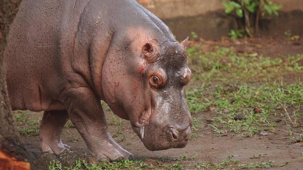 El hipopótamo Gustavito