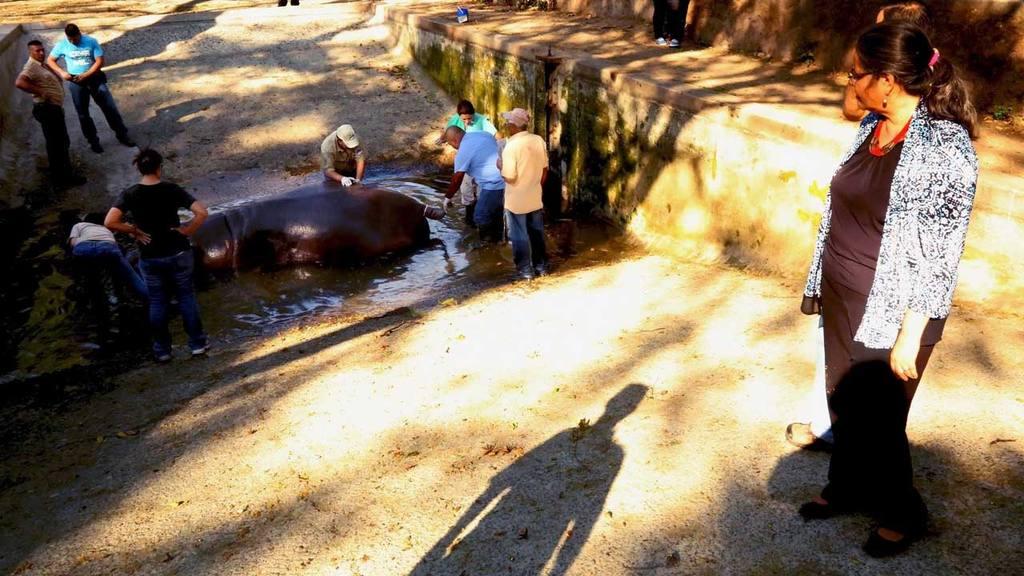 Gustavito Hipopotamo