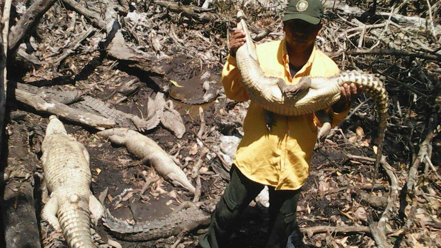 Sacrifican cocodrilos en Chiapas para curar VIH