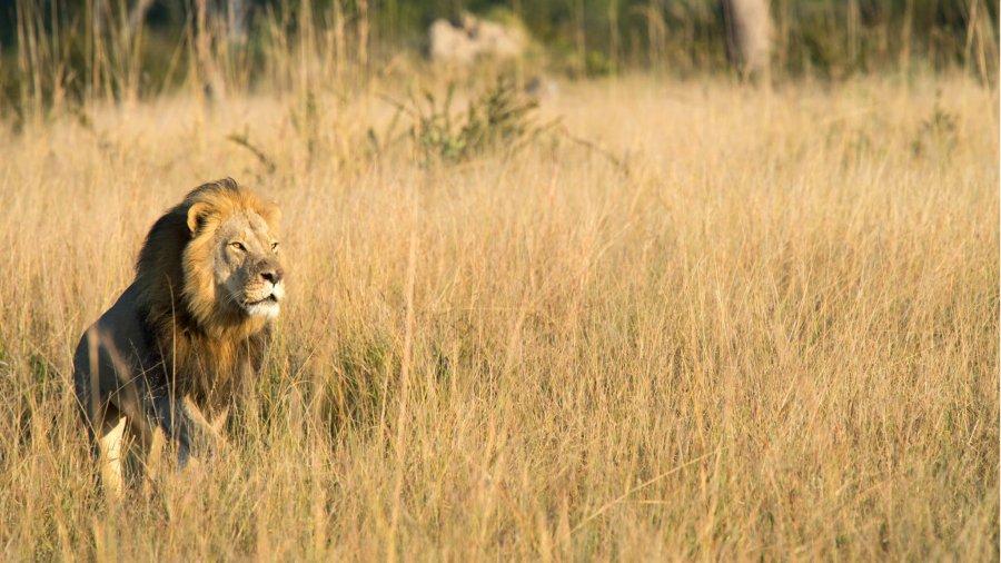 Zimbabue: matan a Xanda, hijo de Cecil, león cazado por dentista