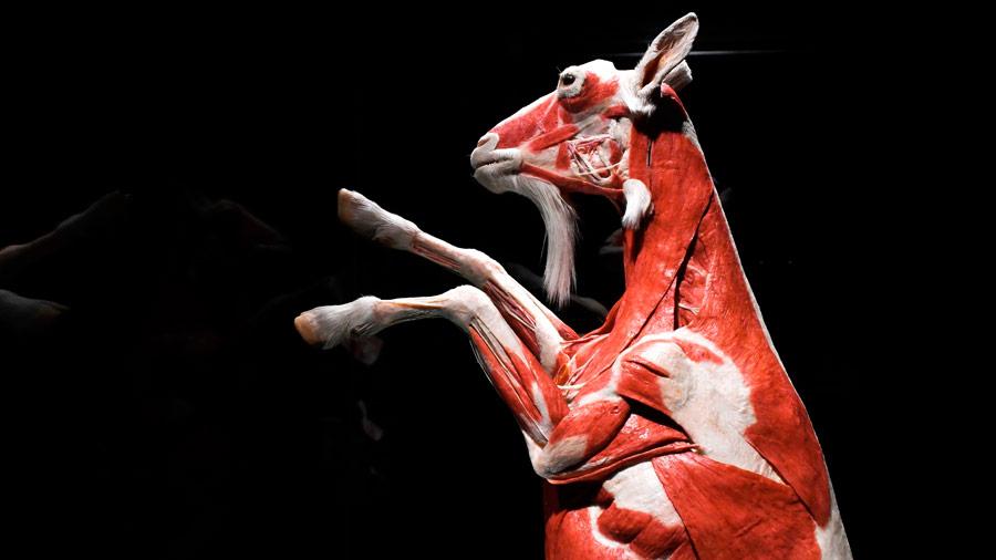 Animales plastinados