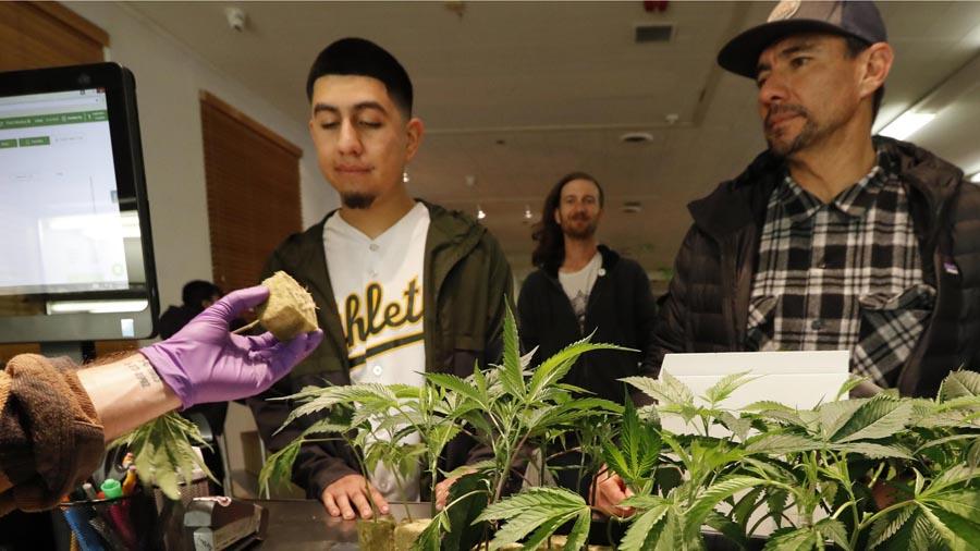 Законопроект о марихуане канабис семена проращивание на гидропонике