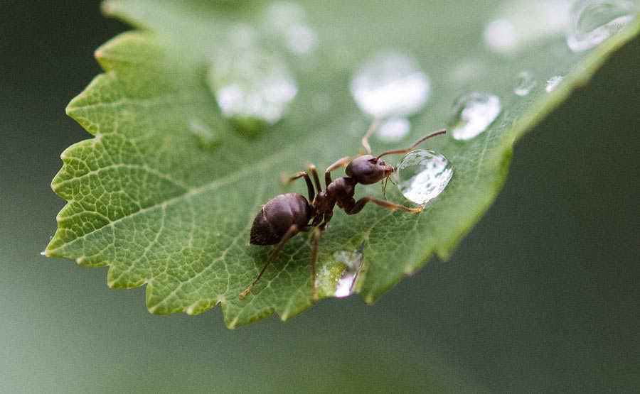 An ant drinks from a raindrop after a shower in Rottweil