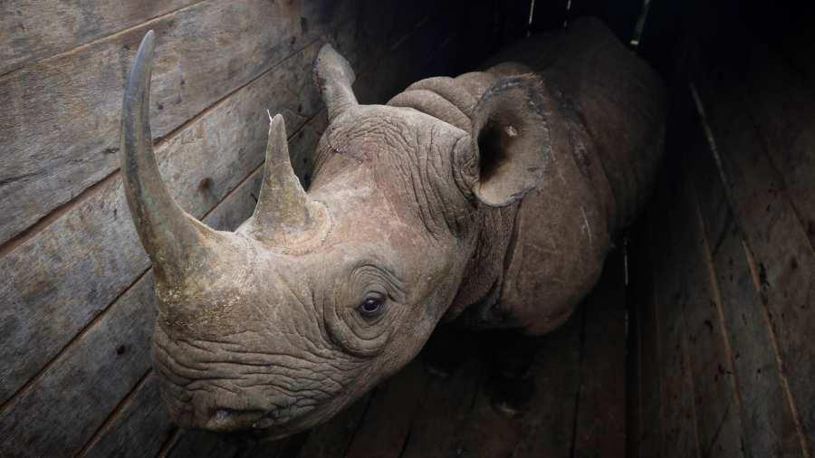 Mueren 8 rinocerontes en reubicación en Kenia