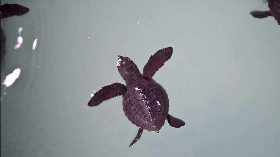 Criaderos de tortugas - Cangrejera Jessica Orellana