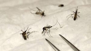 el zancudo transmisor del dengue