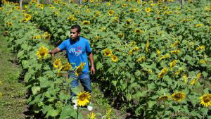 Texistepeque alberga el primer campo de girasoles en el país