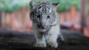 Encantadores tigres de Bengala blancos nacieron en zoológico en China