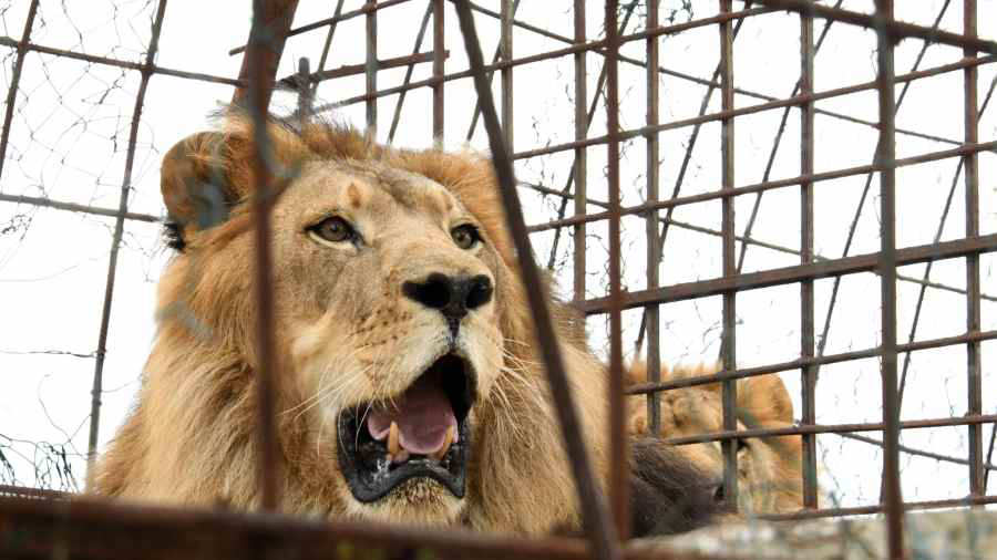 Un león mató a una pasante de 22 años de un zoológico