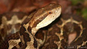 Estas son las serpientes venenosas que habitan en El Salvador