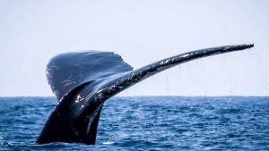 El largo viaje de las ballenas jorobadas a la playa Los Cóbanos