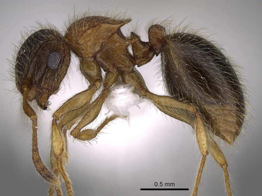 Descubren una nueva especie de hormiga en la penÌnsula ar·biga