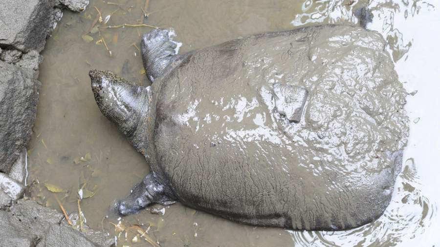 Muere última hembra conocida de especie de tortugas en peligro de extinción