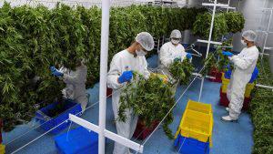 La producción de seis toneladas de Marihuana que serán exportadas en Uruguay por primera vez