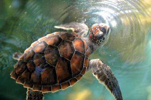 Conoce las especies de tortugas que habitan en El Salvador
