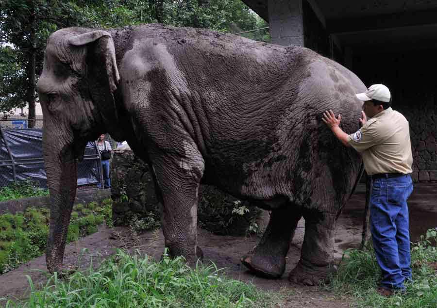 Elefante Manyula