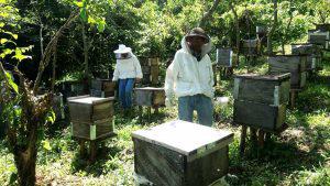 Repercusiones del cambio climático reducen a un 30% la producción de Miel en El Salvador