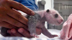 """A sus 16 días los cachorros de panda gigante nacidos en Bélgica dicen """"Hola"""" a las cámaras"""