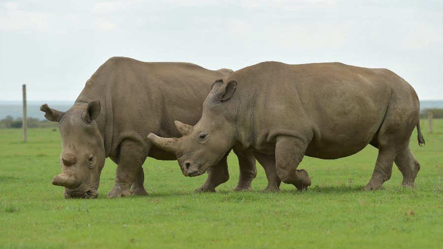 Rinoceronte blanco del norte Rinocerontes