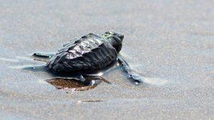 """100 tortugas son liberadas en el lanzamiento de la """"Ruta de de la tortuga marina"""""""