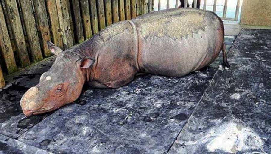Iman-the-rhino