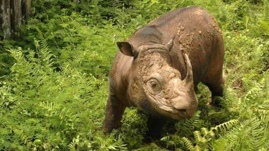 WWF-Malaysia-Sumatran-Rhino-640x427
