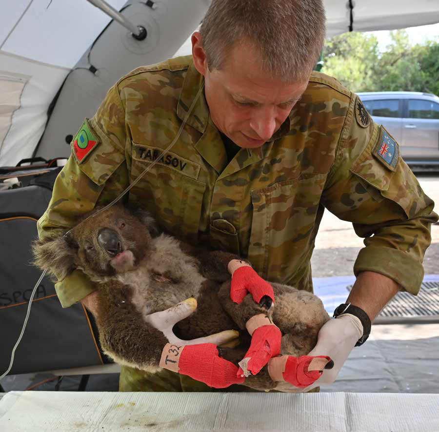 A member of the Australian Defence Force picks up an injured Koala af