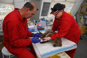 An injured Koala is being treated for burns by