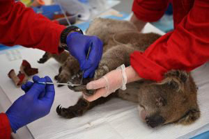 An injured Koala is being treated for burns by a vet at a makeshift f