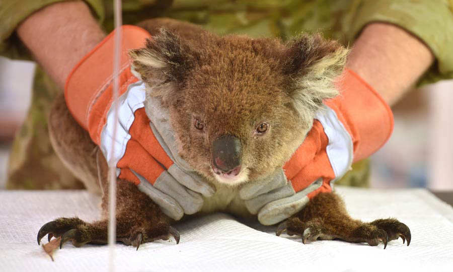 An injured Koala is being treated at a makeshift field hospital at th