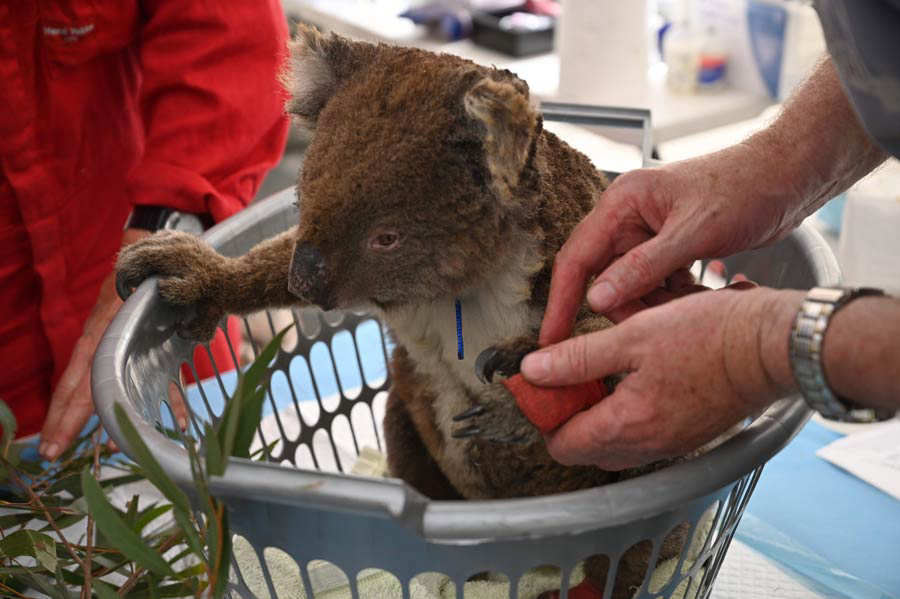 An injured Koala is looked at by a vet after it was treated for burns