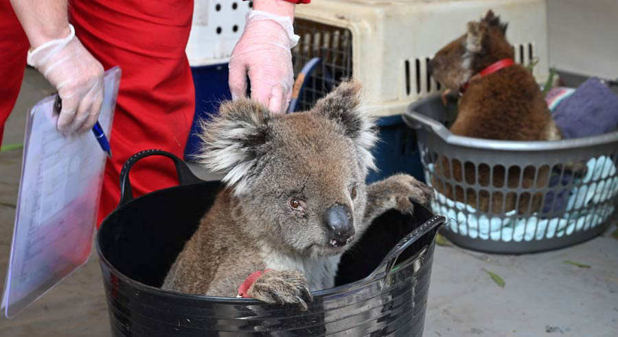 An injured Koala waits to be treated for burns at a makeshift field h