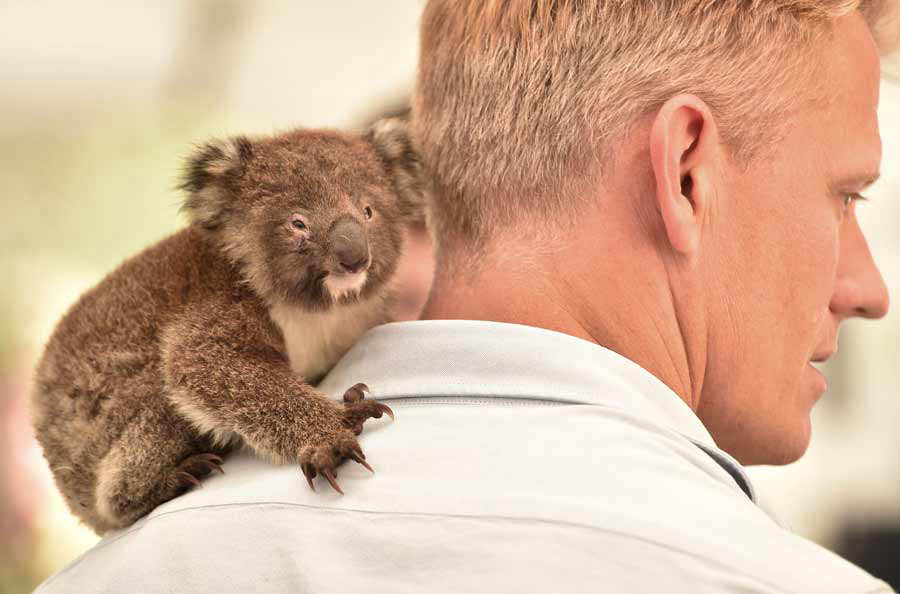 An orphaned baby Koala sits on the shoulder of a vet at a makeshift f