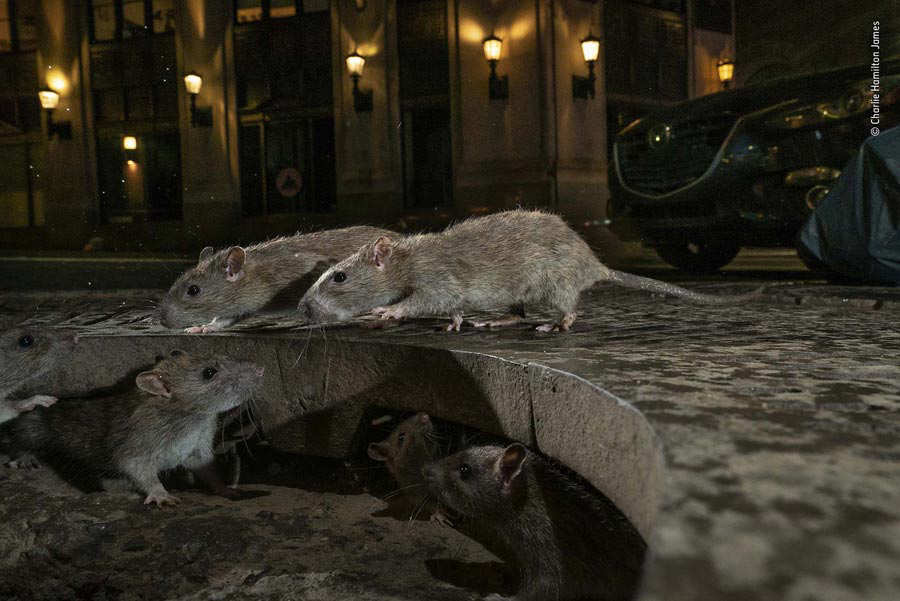 Rats on sidewalk. Pearl St, New York