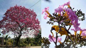 Así retratan los salvadoreños el colorido de los árboles en flor