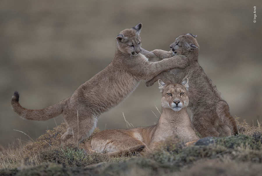 Puma female with cubs