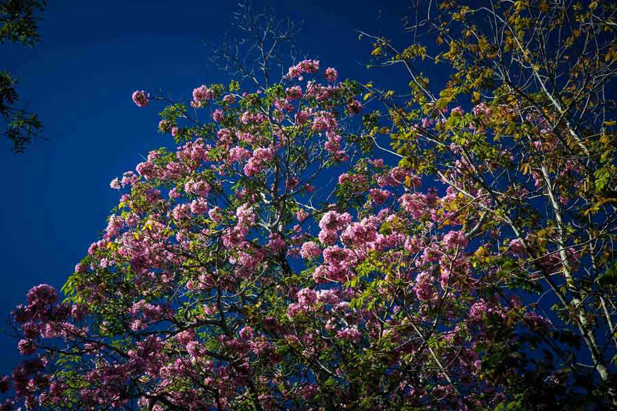 Nelson Medina Los rosados del Maquilishuat frente a iglesia San Benito.