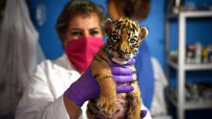"""Conoce a """"Covid"""", el tigre recién nacido en México bautizado como la pandemia"""