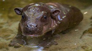 Después de 30 años nace hipopótamo pigmeo en zoológico de San Diego
