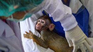 Macacos son utilizados para probar la vacuna contra el COVID-19 en Tailandia