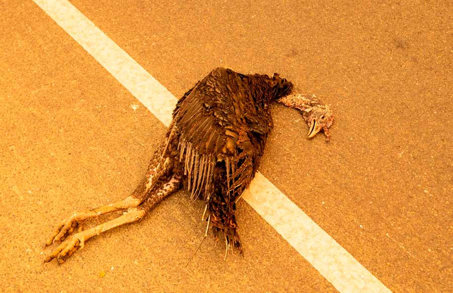 EDITORS NOTE: Graphic content / A dead bird is seen on a road near a