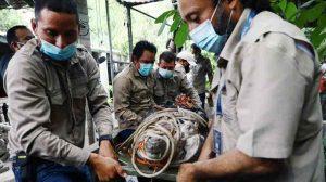 Liberan a cocodrilo que vivió en cautiverio por 25 años en una casa de Aguilares