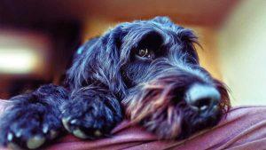 Las mascotas que son preparadas para detectar personas positivas al COVID-19