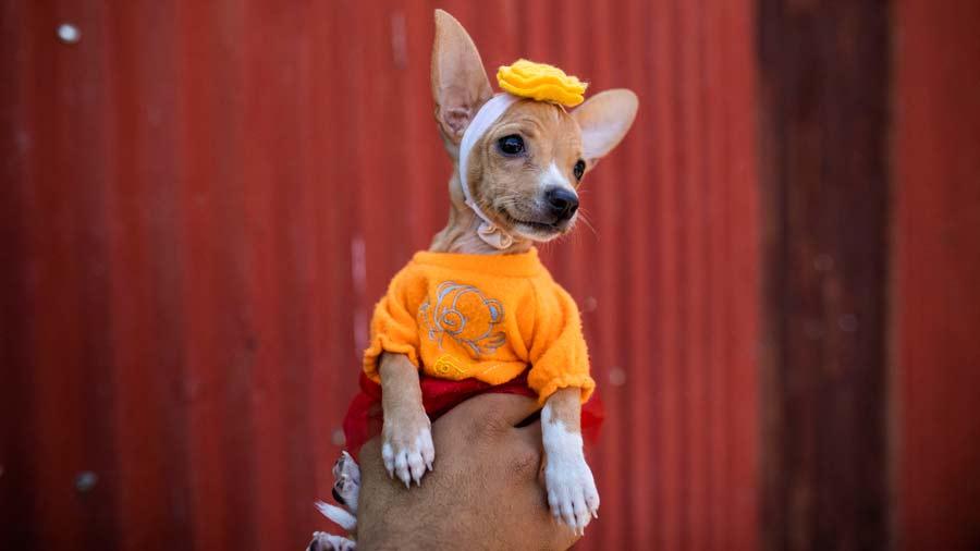 San Lazaro protege a los perros en Nicaragua14