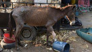 Pinocho, la mula rescatada tras el maltrato y abandono de su antiguo dueño en San Vicente