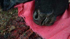Vaca es desollada en la calle luego de ser embestida por vehículo en San Ildelfonso, San Vicente