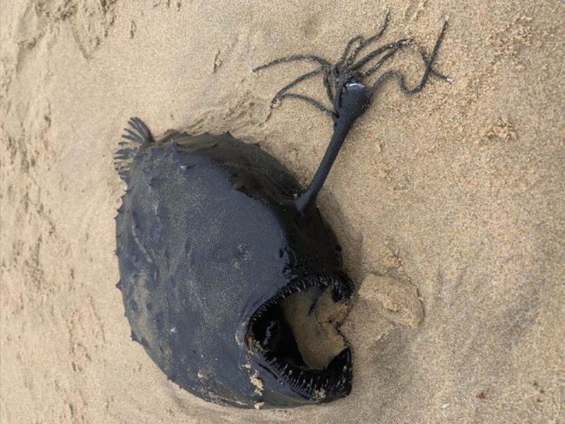 Insólito! Un extraño pez con colmillos y tentáculos fue encontrado en una  playa de California