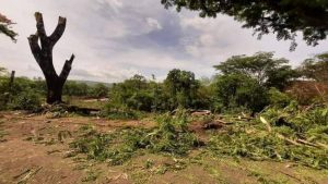 """""""Lo que están haciendo en San Miguel no tiene perdón"""", usuarios de Twitter arremeten contra tala de árboles en carretera Panamericana"""